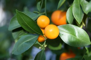 Eco-citric-calamondin