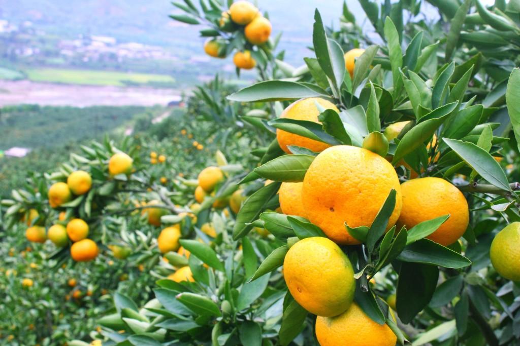mandarinas-ecologicas