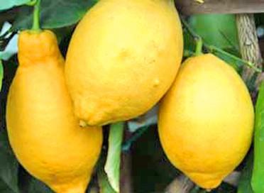 Villa-Franca-Lemon
